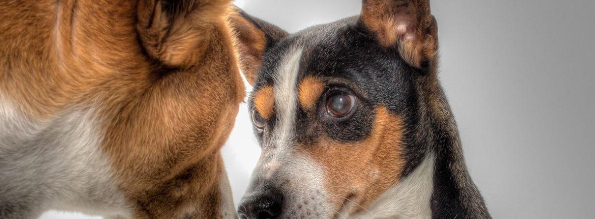 Deux chiens face à face