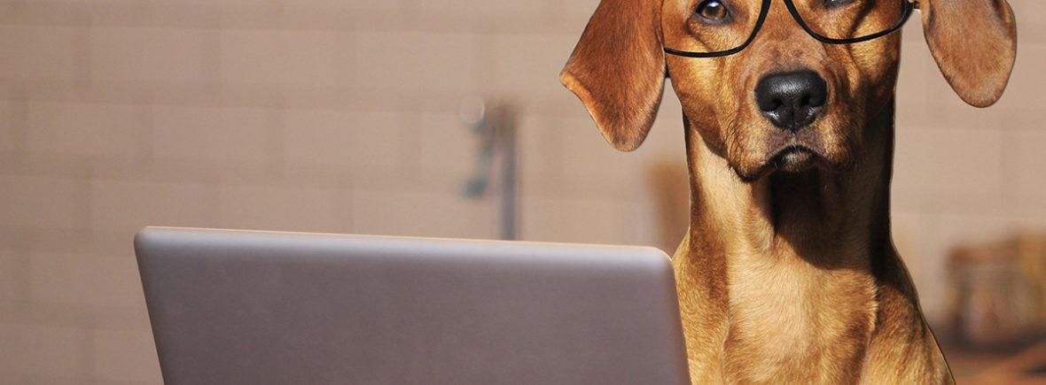 Labrador avec des lunettes devant un ordinateur portable
